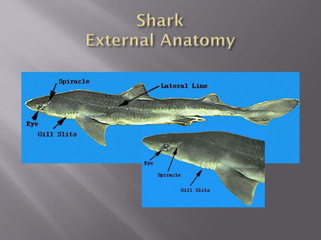 Class: Chondrichthyes - ppt download