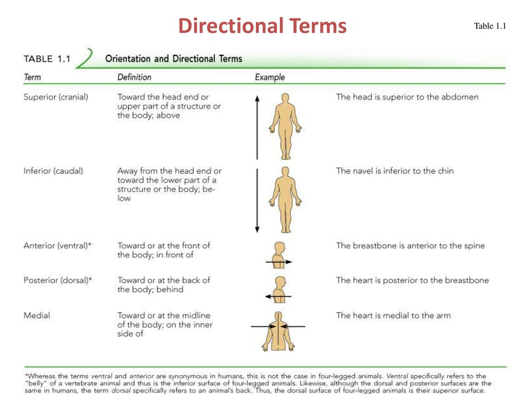 Directional Terms Anatomy Image collections - human body anatomy