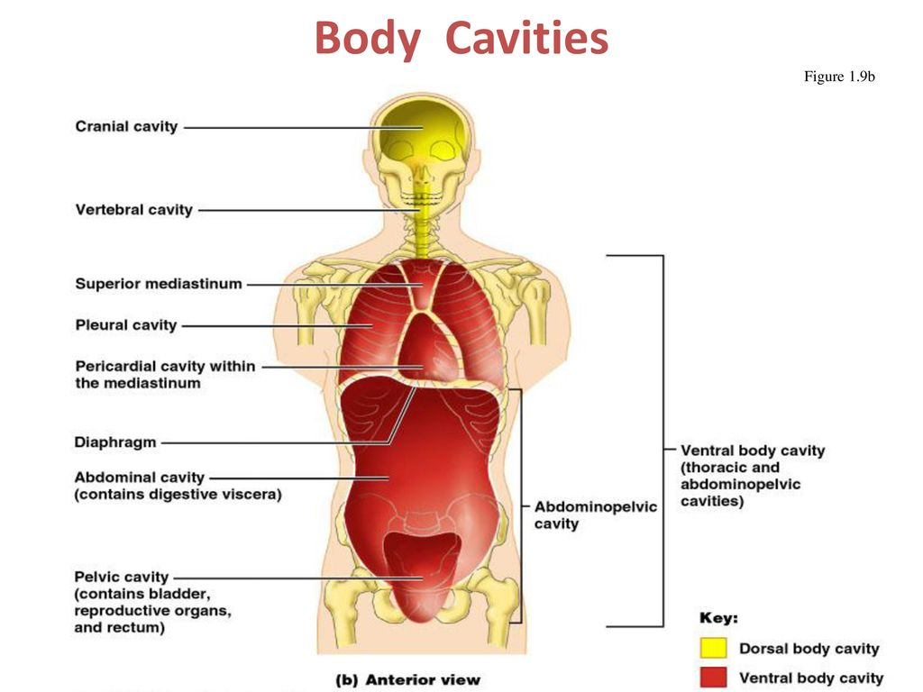 The Human Body: Anatomical Regions, Directions, and Body Cavities ...