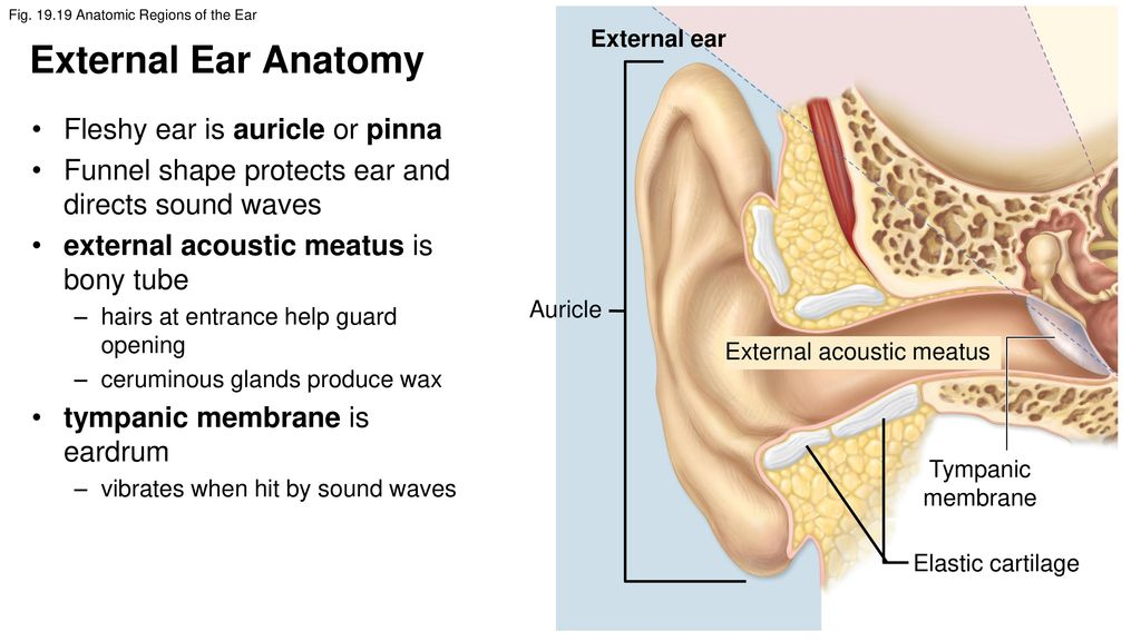 Attractive Ear Anatomy Pinna Ideas - Anatomy And Physiology Biology ...