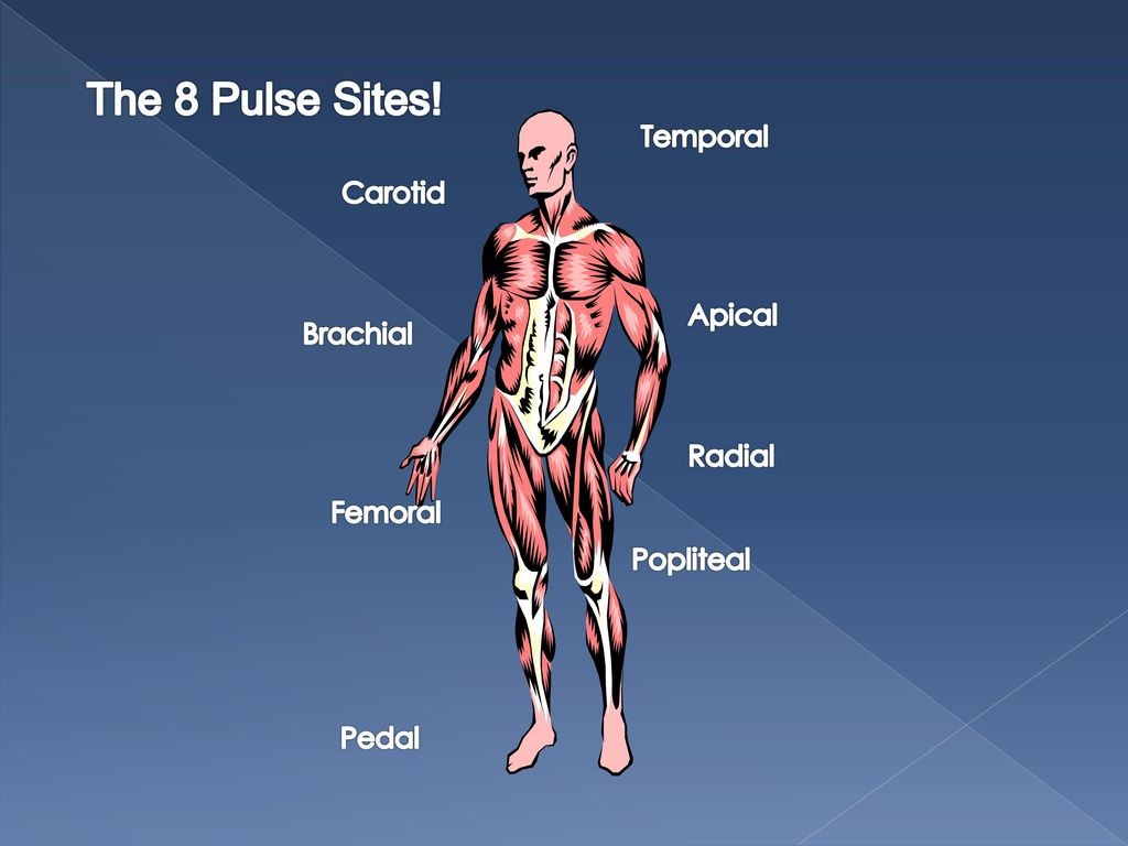 The 8 Pulse Sites Temporal Carotid Apical Brachial Radial Femoral