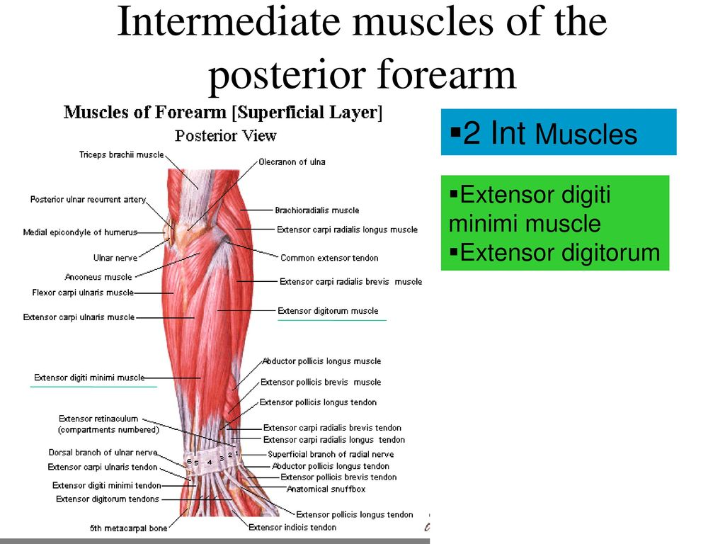 Upper Limb Arm & Forearm. - ppt download