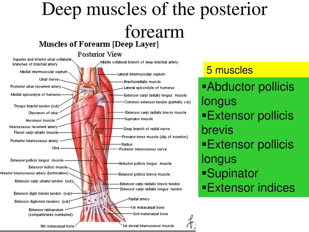 Upper Limb Arm Forearm Ppt Download