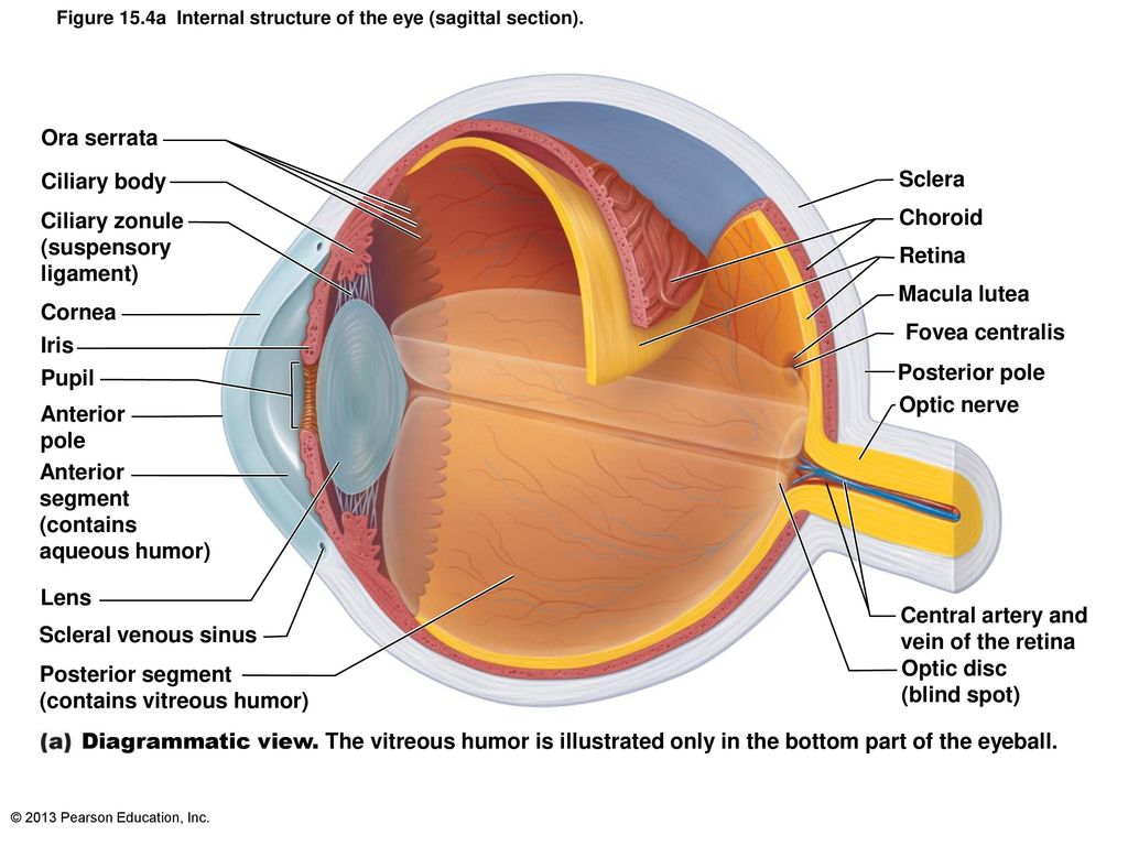 Anatomy and Physiology of Vision - ppt download