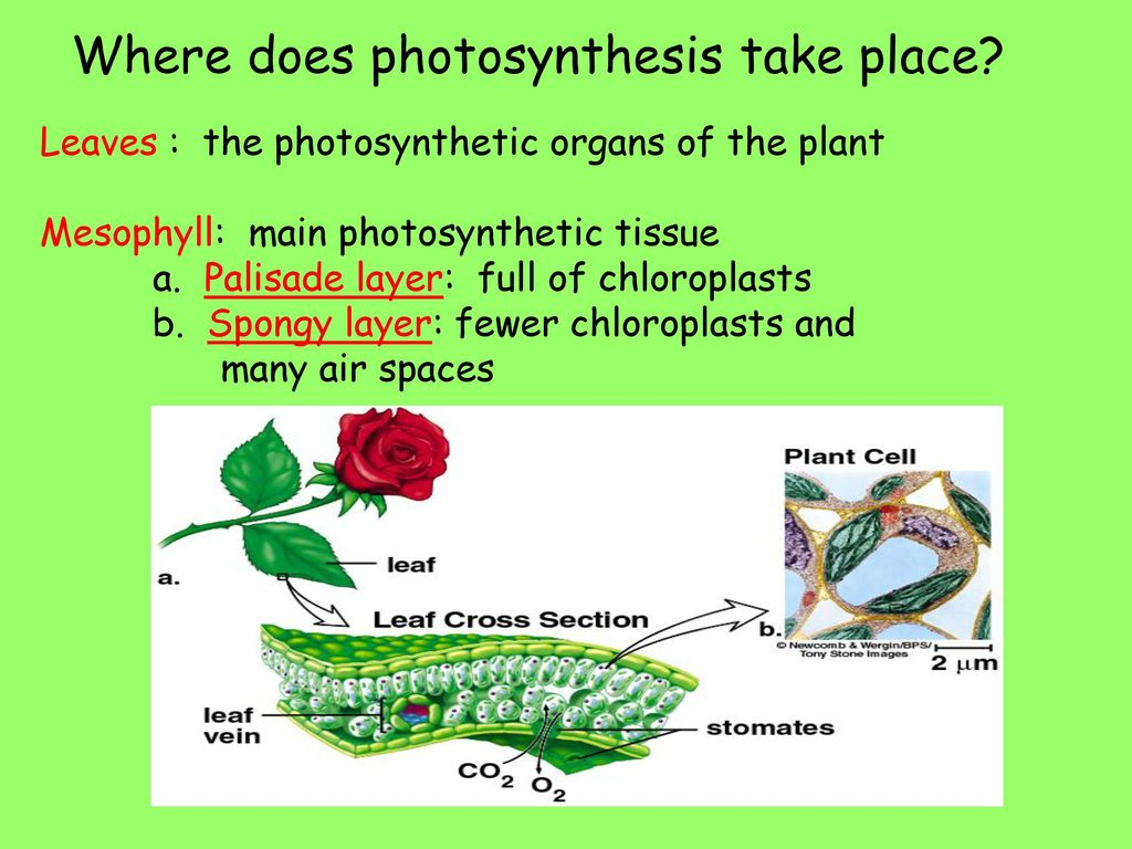 The photosynthesis takes place in