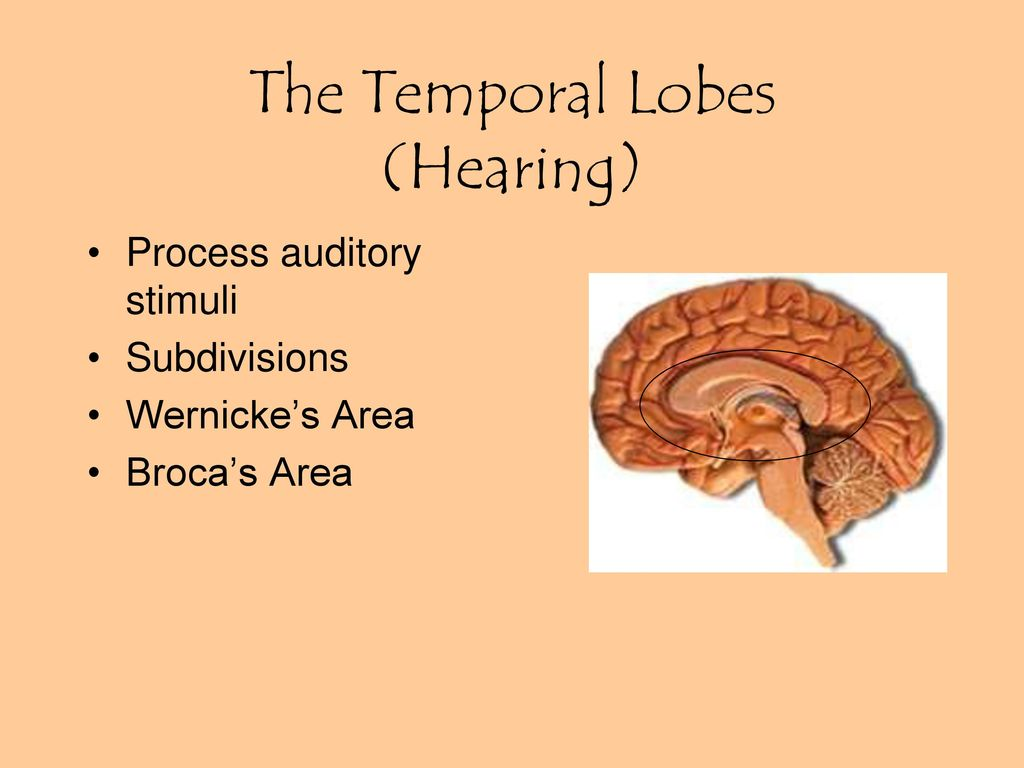 which lobe of the brain interprets auditory stimuli