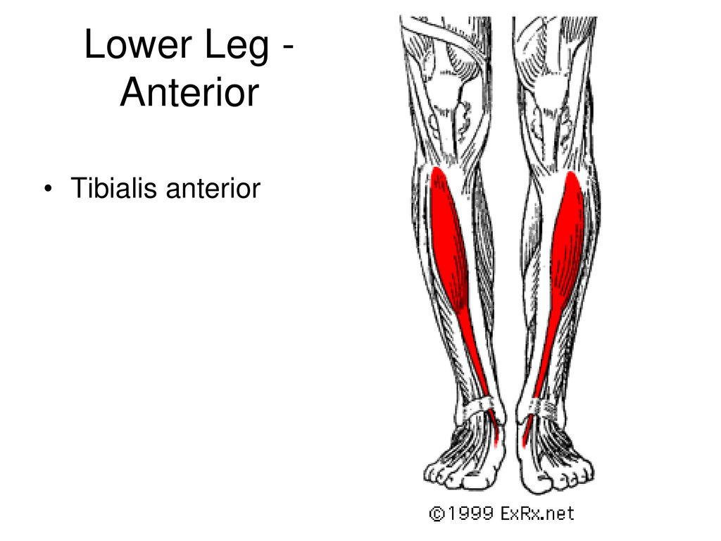 Attractive Tibialis Anterior Origin Component - Human Anatomy Images ...