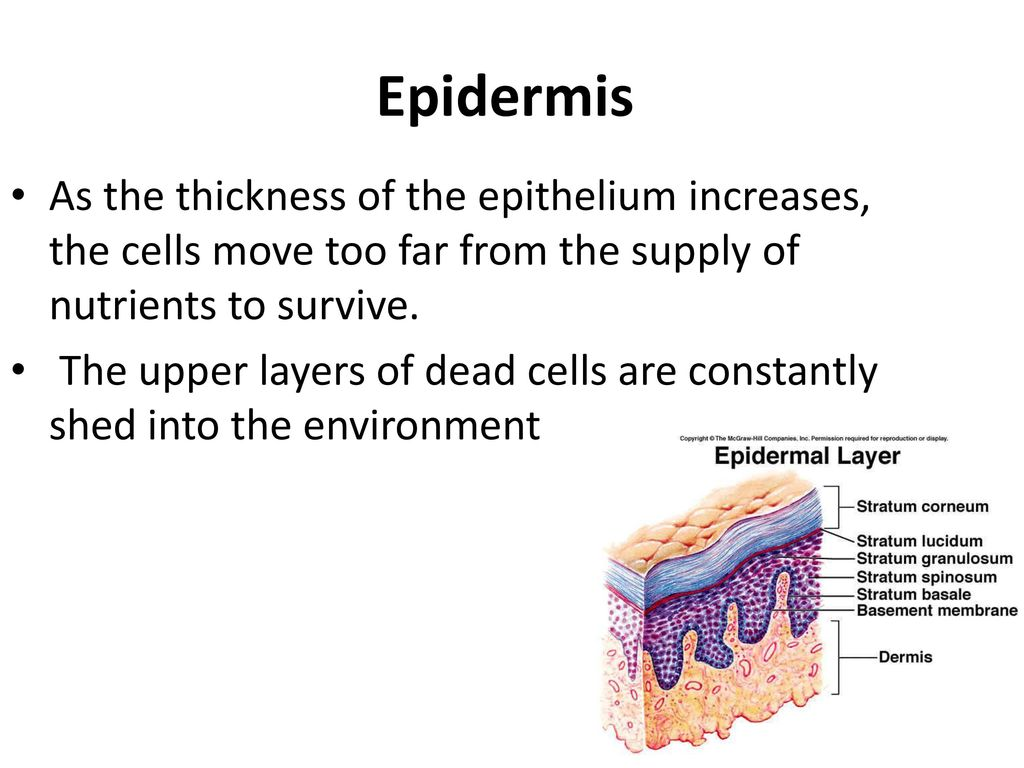 Epidermis As the thickness of the epithelium increases, the cells move too far from the supply of nutrients to survive.