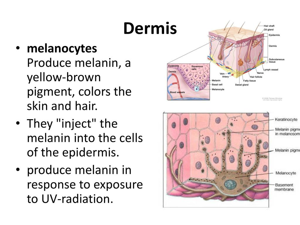 Dermis melanocytes Produce melanin, a yellow-brown pigment, colors the skin and hair. They inject the melanin into the cells of the epidermis.