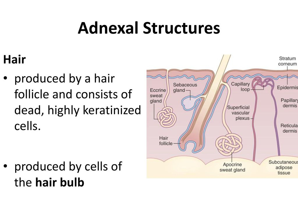 Adnexal Structures Hair
