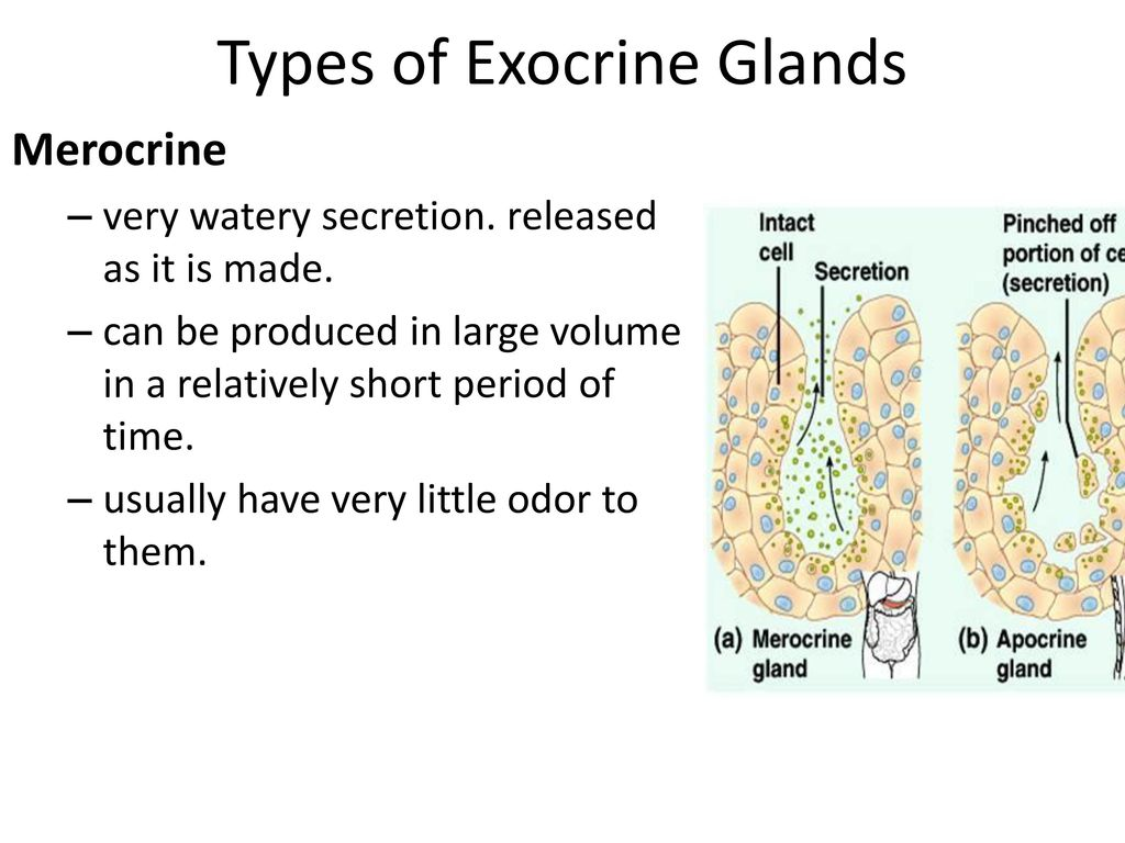 Types of Exocrine Glands
