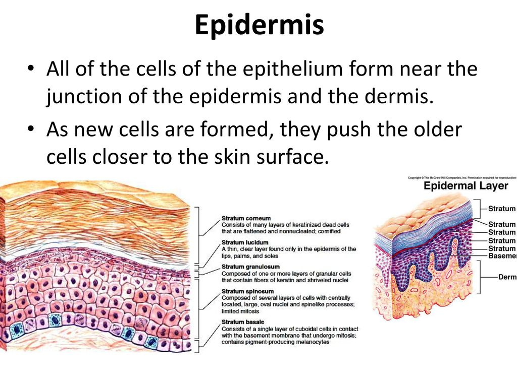 Epidermis All of the cells of the epithelium form near the junction of the epidermis and the dermis.