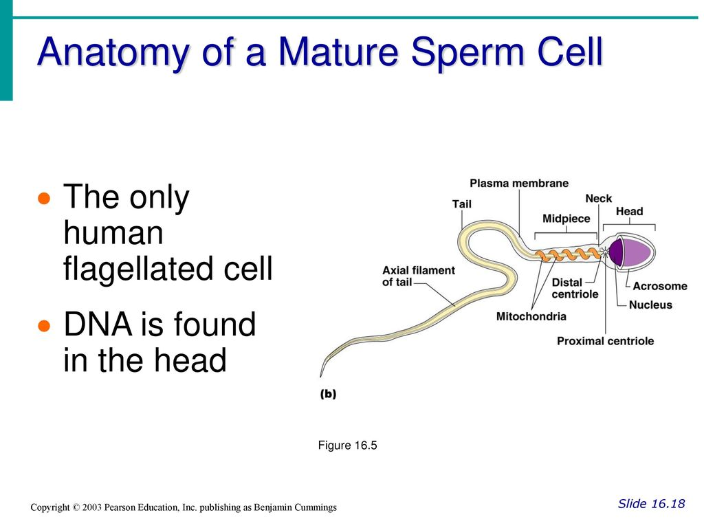 Fancy Anatomy Of Sperm Cell Inspiration Human Anatomy Images