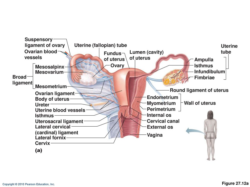 Luxury Uterine Anatomy Ligaments Pictures - Anatomy and Physiology ...