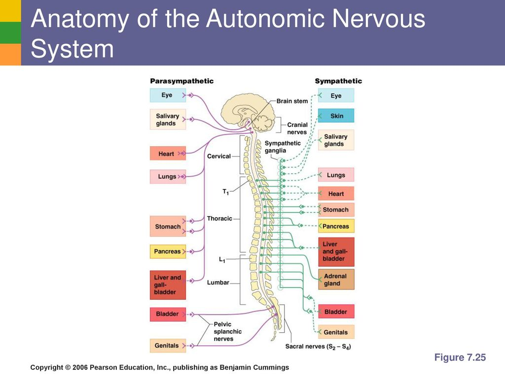 Magnificent Anatomy Of Autonomic Nervous System Festooning - Anatomy ...