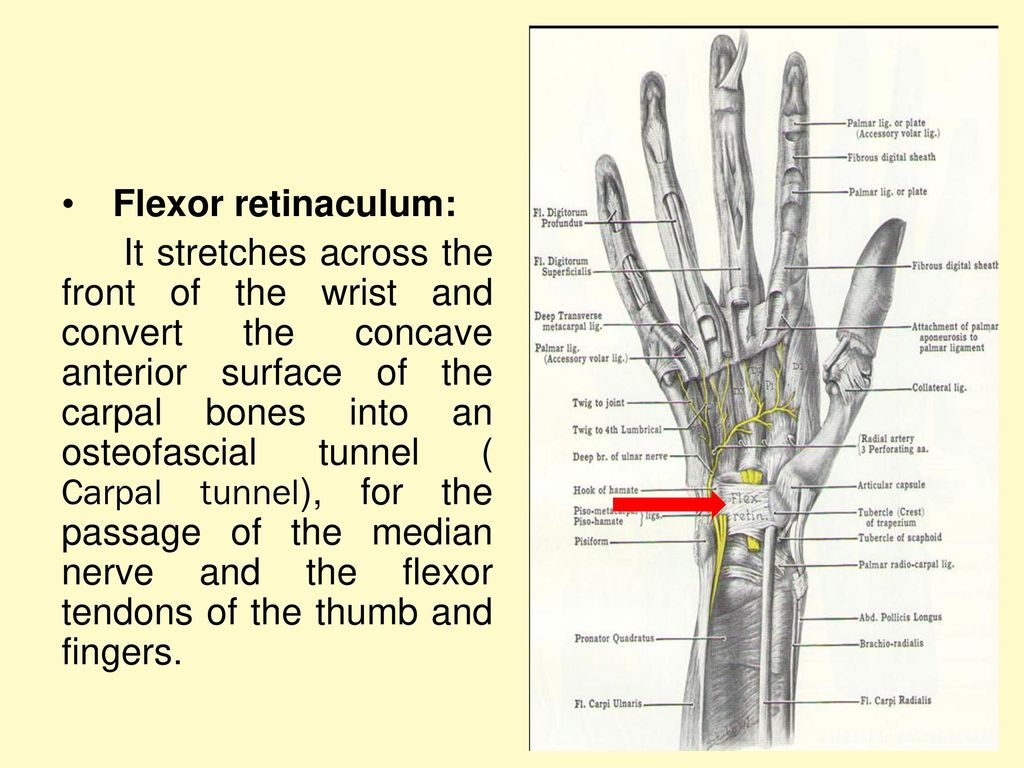 Anatomy of wrist and Hand 2 - ppt download