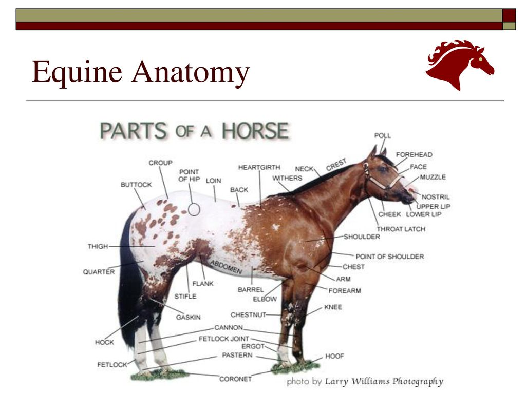 Equine Anatomy Physiology Ppt Download