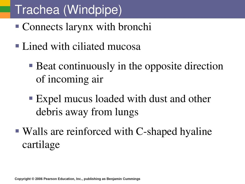 Fine Trachea Windpipe Frieze - Physiology Of Human Body Images ...