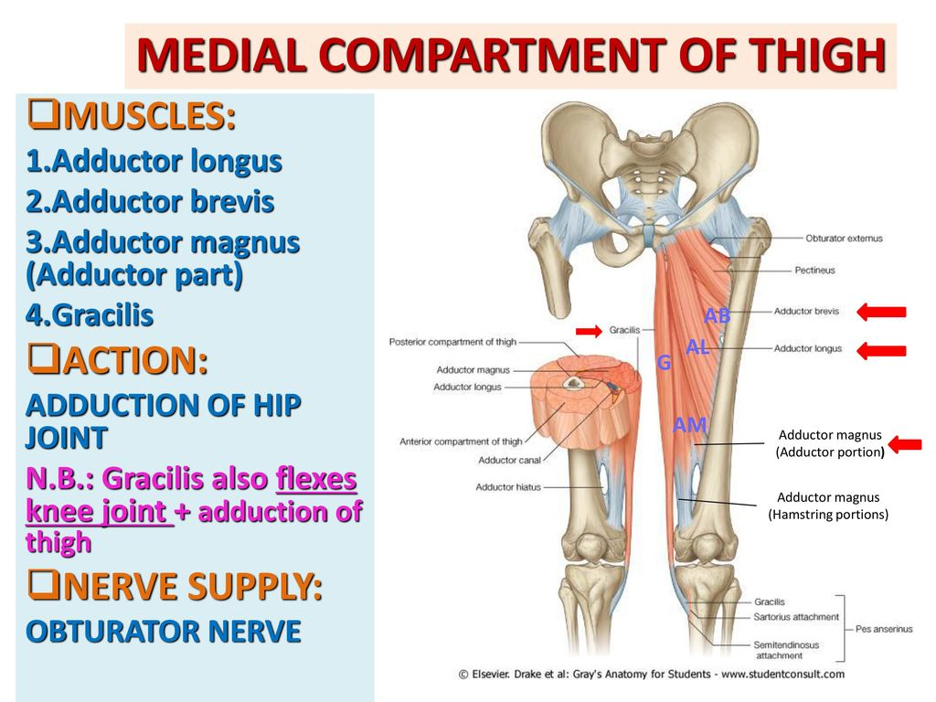 ANTERIOR & MEDIAL COMPARTMENTS OF THIGH - ppt download