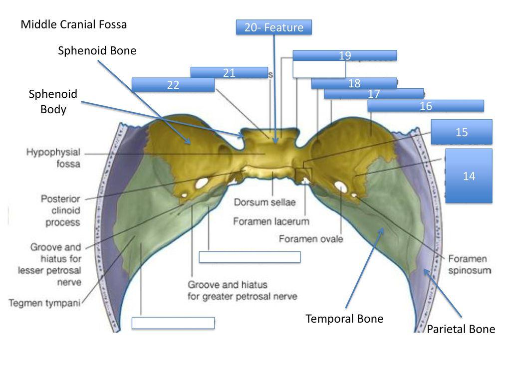 Beautiful Sella Turcica Picture Component - Anatomy Ideas - yunoki.info