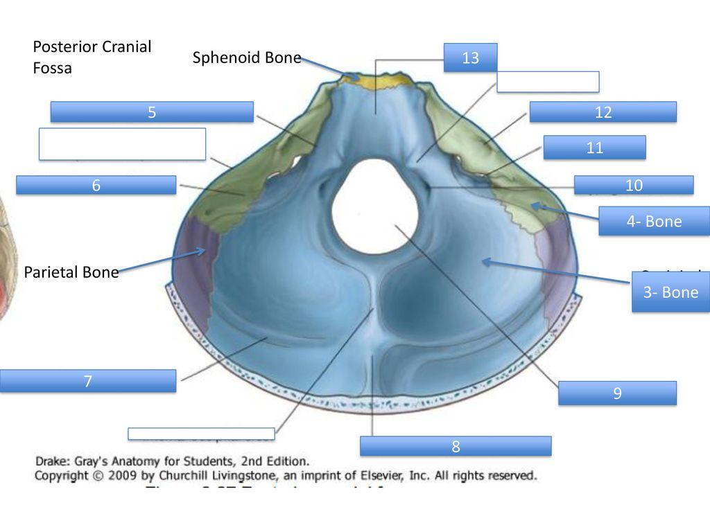 Anterior Cranial Fossa - ppt download