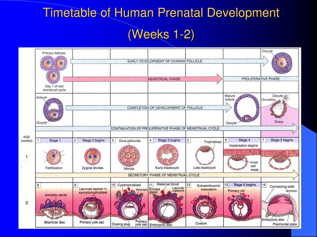 Timetable of Human Prenatal Development (Weeks 1-2)