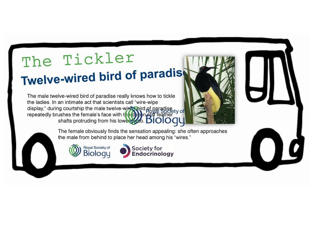 The Tickler Twelve-wired bird of paradise - ppt download