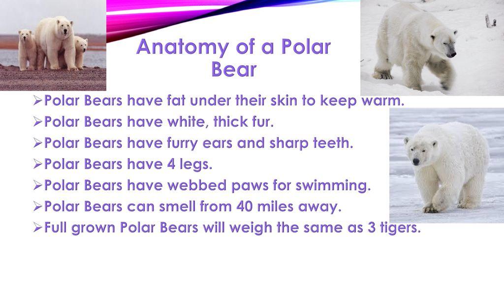Polar Bears By David Schwartz. - ppt download