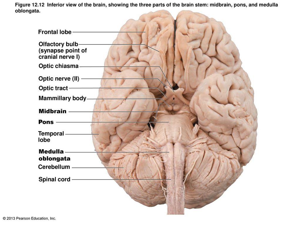 12 The Central Nervous System: Part B. - ppt download