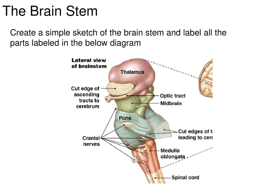 2/24/2015 – The Brain Part 1 LT: Today I will… - ppt download