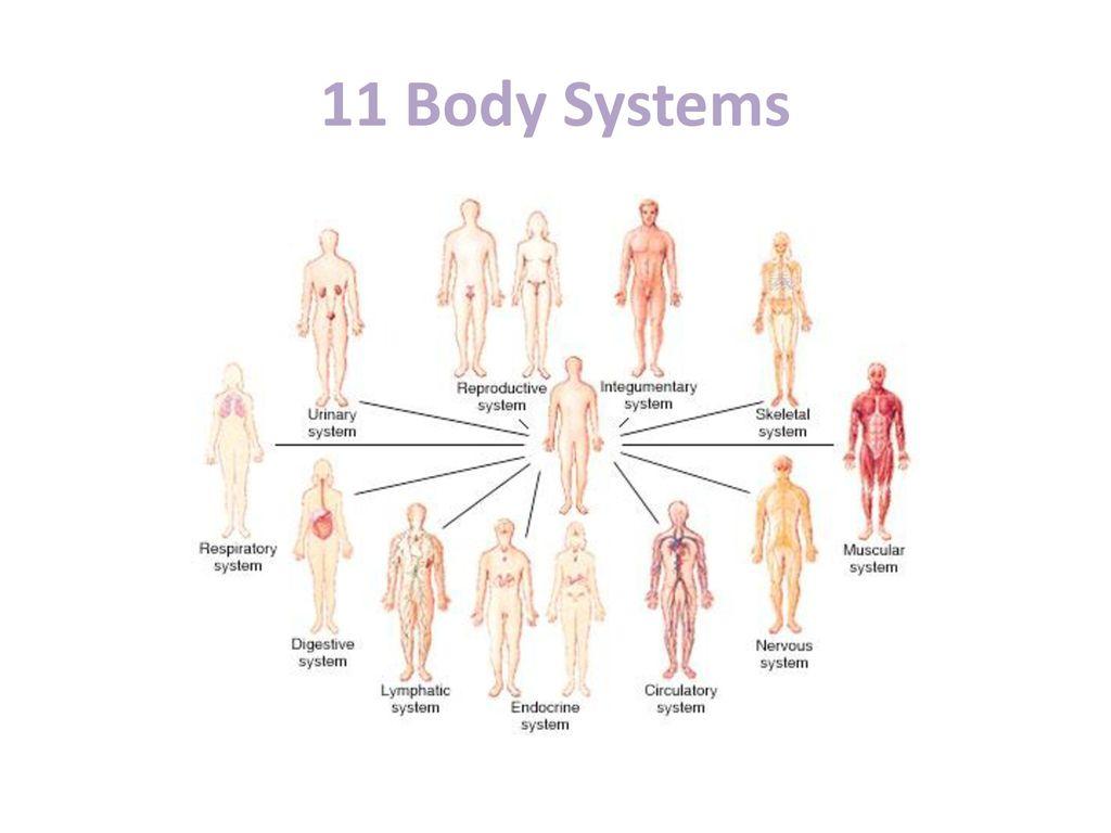 11 Body Systems Elisdlugopisyreklamowe