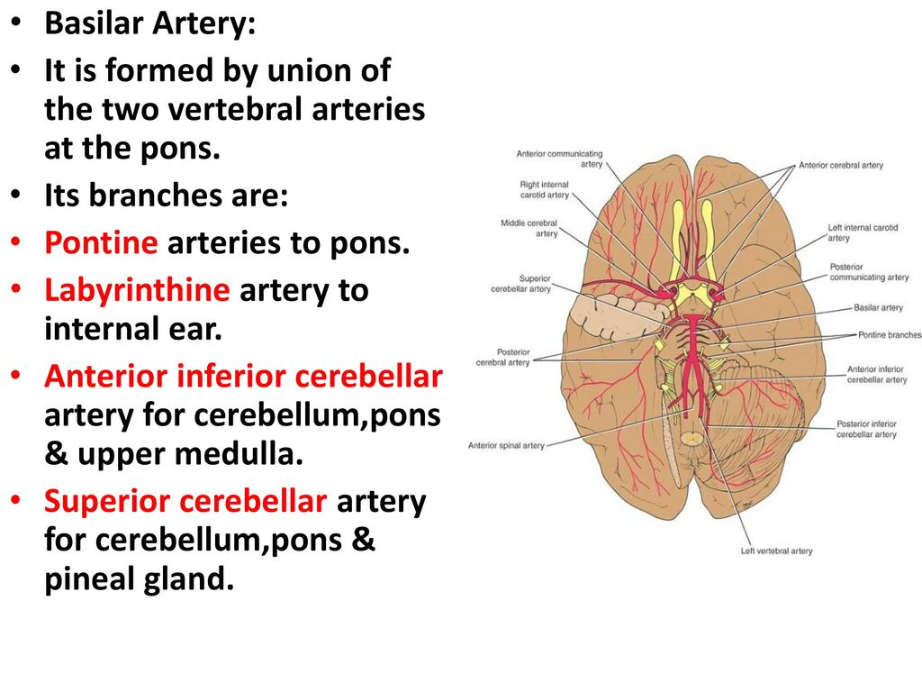 The Blood Supply of the Brain and Spinal Cord - ppt download