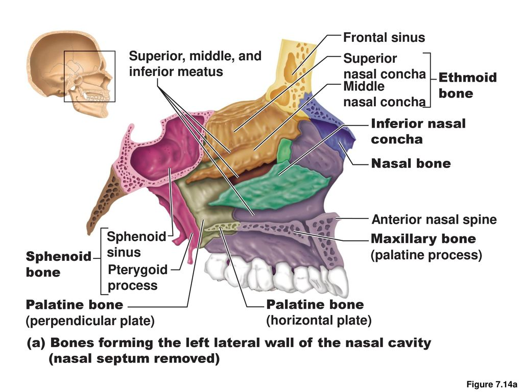 The Axial Skeleton Consists of 80 bones Three major regions Skull ...