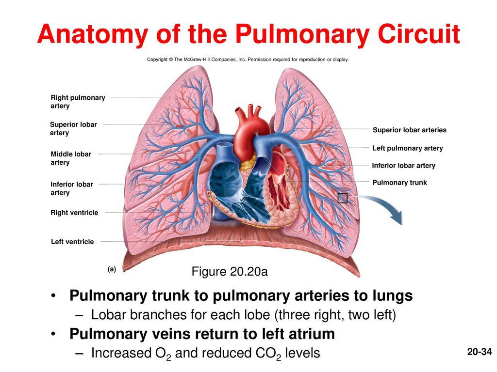 Dorable Right Pulmonary Artery Anatomy Composition - Anatomy and ...