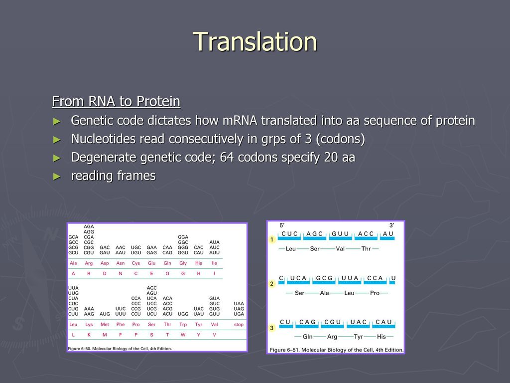From RNA to Protein Lecture ppt download