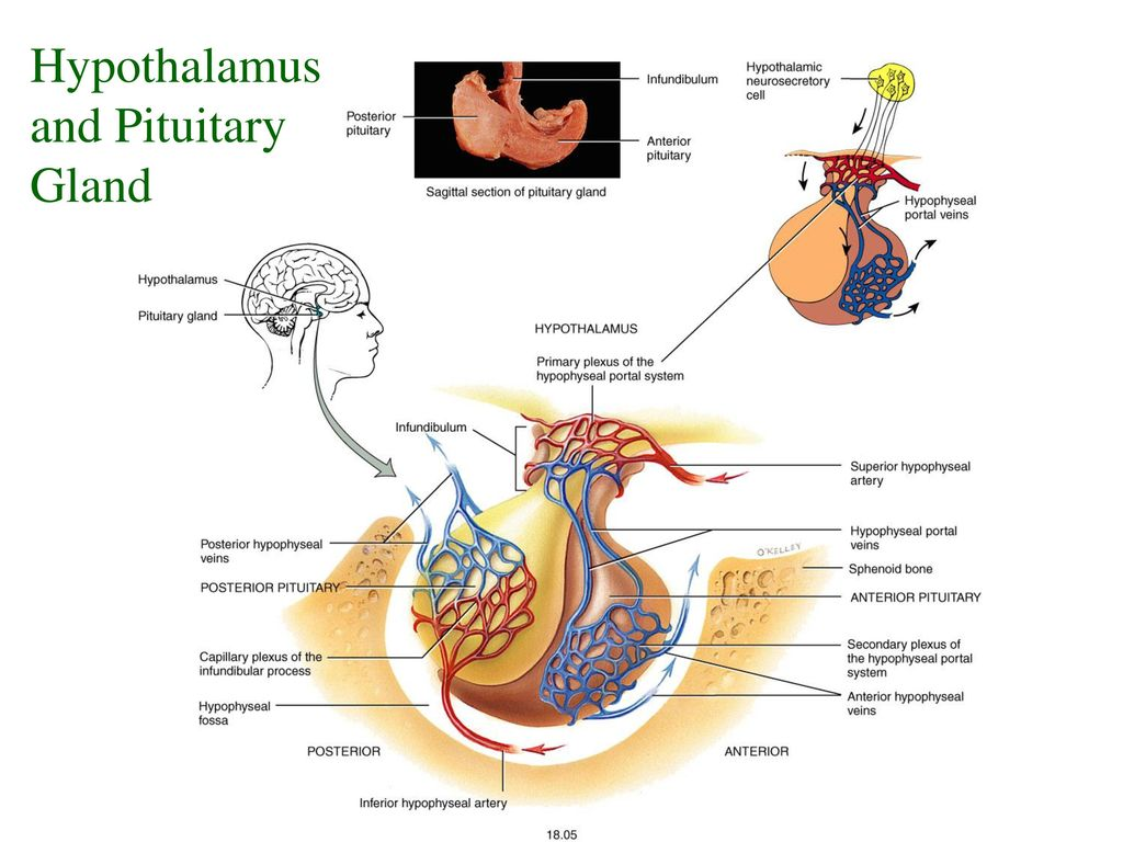 Enchanting Anterior Pituitary Gland Model - Anatomy and Physiology ...