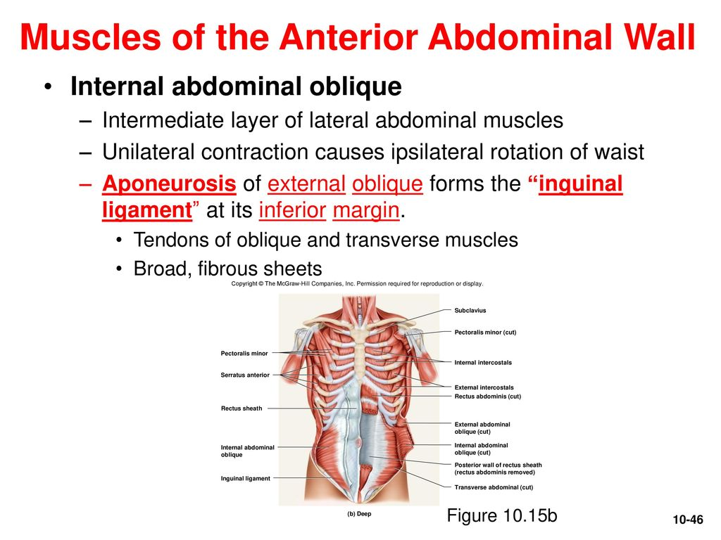 Perfect Oblique Cut Anatomy Pictures - Anatomy and Physiology Tissue ...