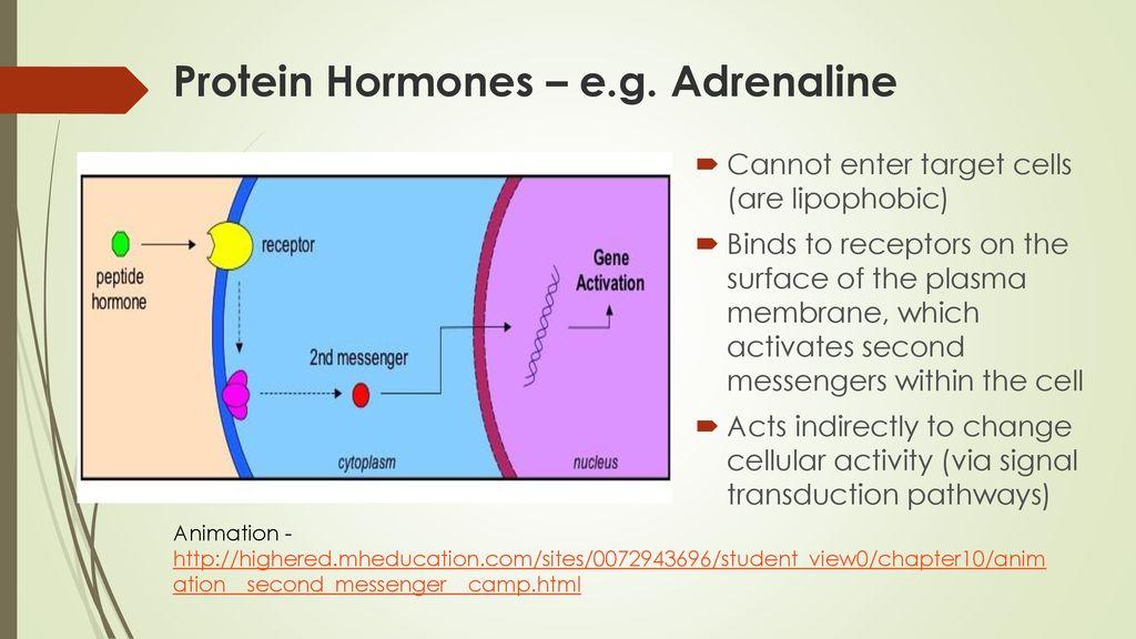adrenaline target cells
