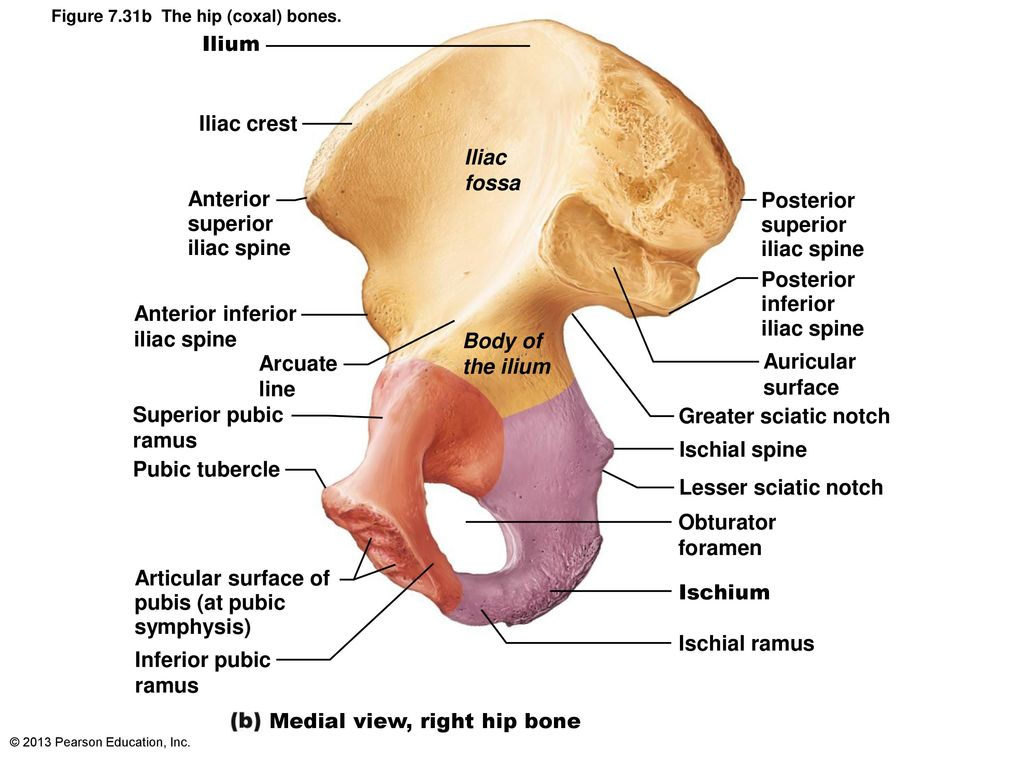 Funky Iliac Fossa Anatomy Gift - Anatomy and Physiology Tissue ...