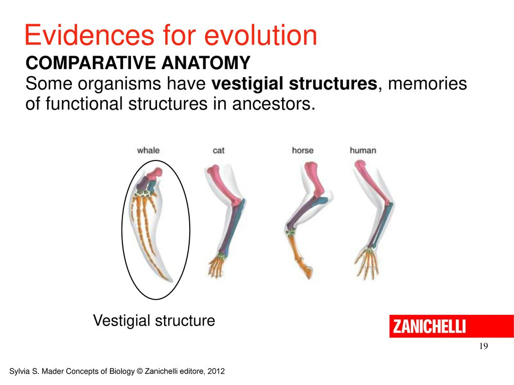 Vistoso Evidence Of Evolution Comparative Anatomy Componente ...