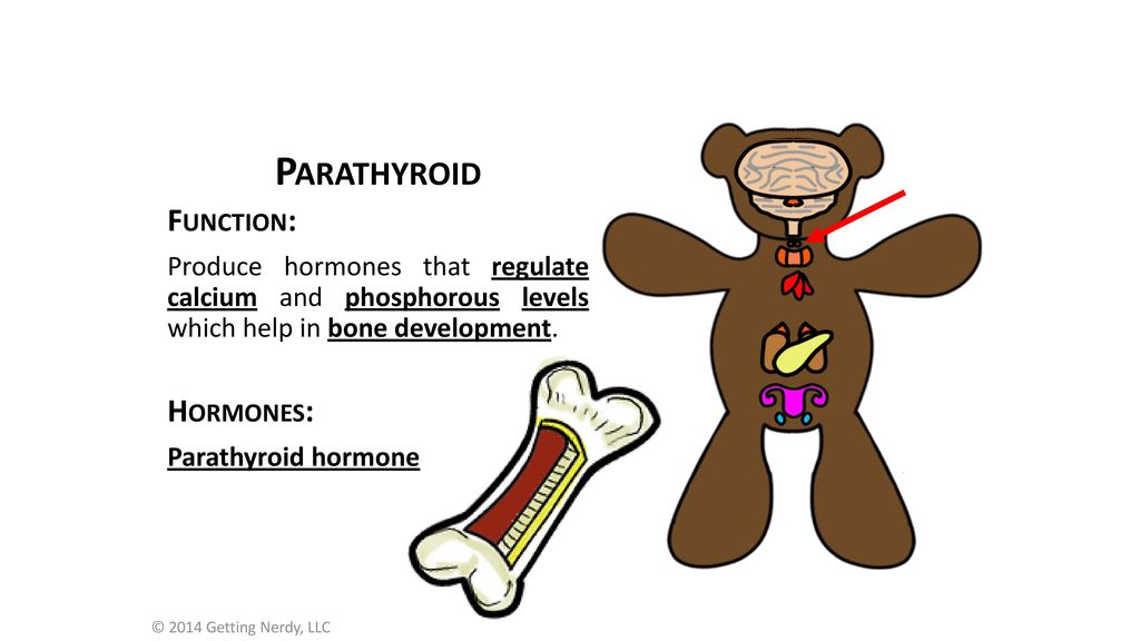 Lets Meet Ted The Endocrine Diagram Ppt Download