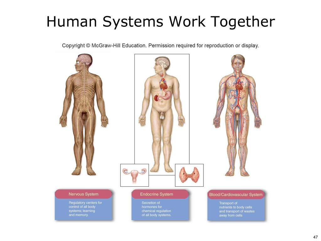 two systems that work together The skeletal system provides vital support and protection for all the other systems of the human body the skeletal and muscular systems work together to produce movement and maintain posture muscles attach at various points on the bones and work to change the bones' orientation relative to one another at the joints.