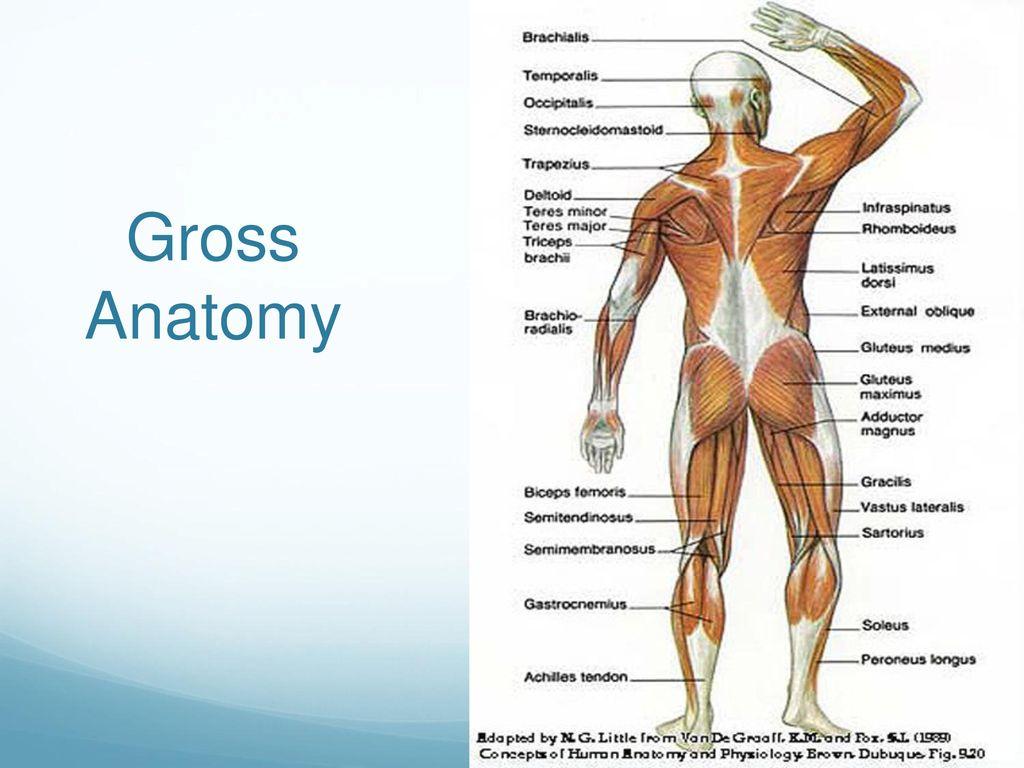 Gross Anatomy Head Neck Trunk Upper Limb Ppt Download