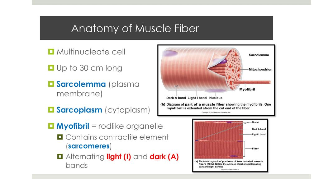 Funky Anatomy Of Muscle Fiber Vignette Human Anatomy Images