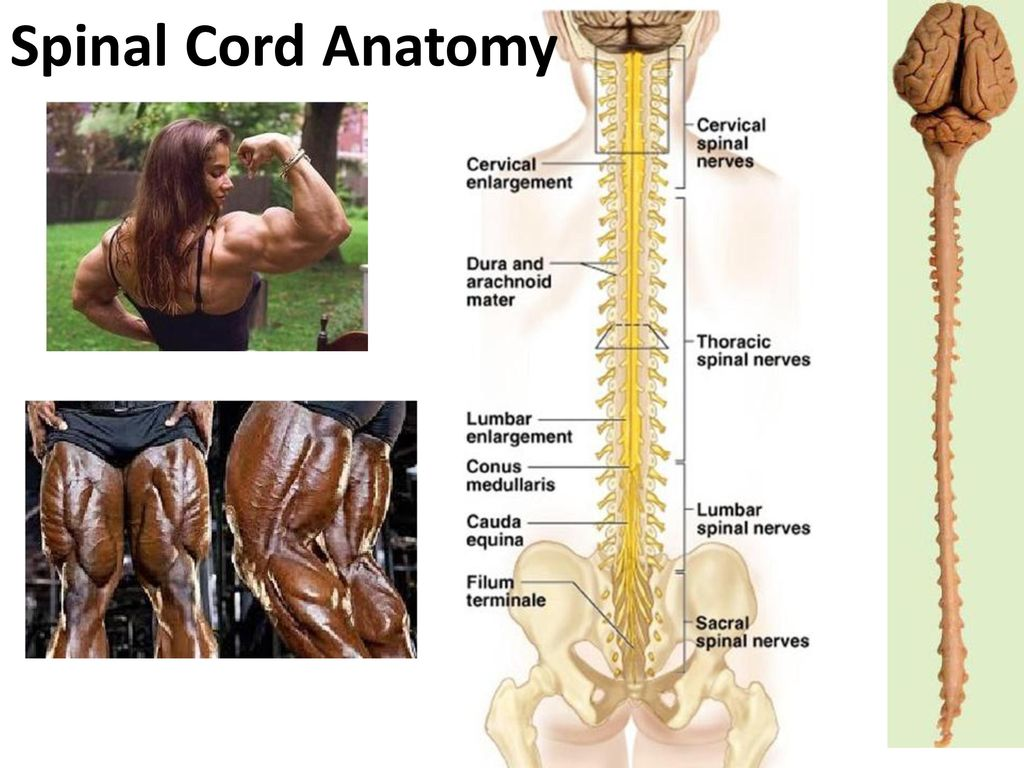 Transmit • Integrate Functions of the Spinal Cord Sensory Info - ppt ...
