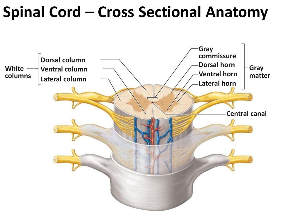 Funky Describe The Cross Sectional Anatomy Of Spinal Cord Image ...
