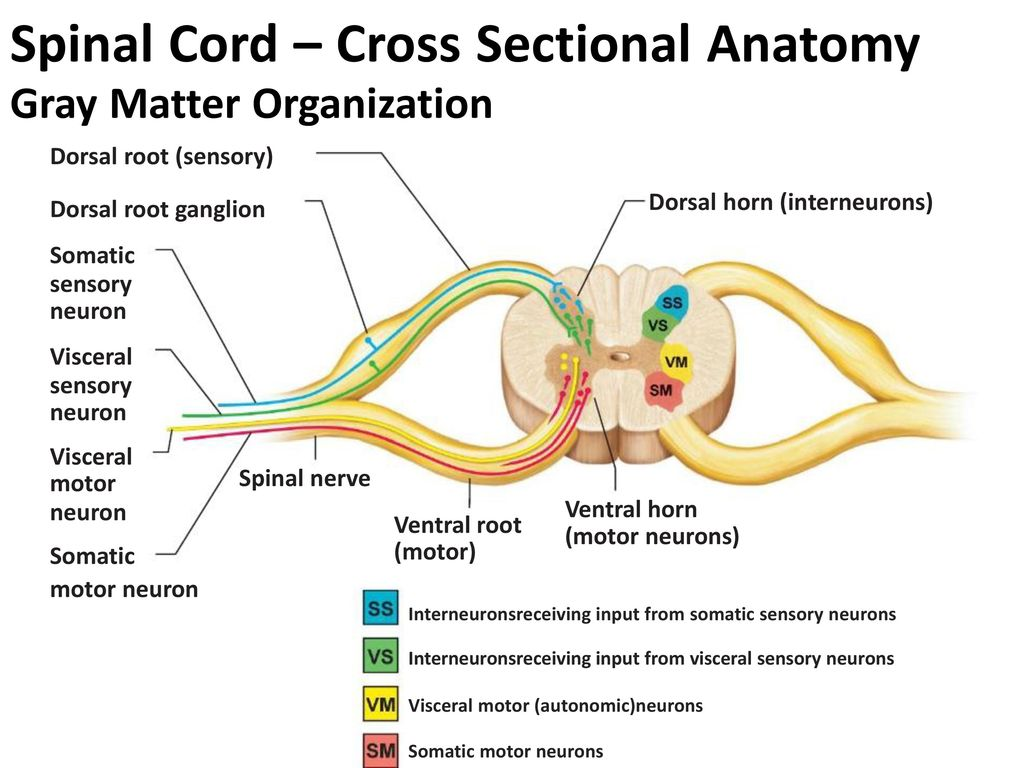 Contemporary Cross Sectional Anatomy Of The Spinal Cord Pictures ...