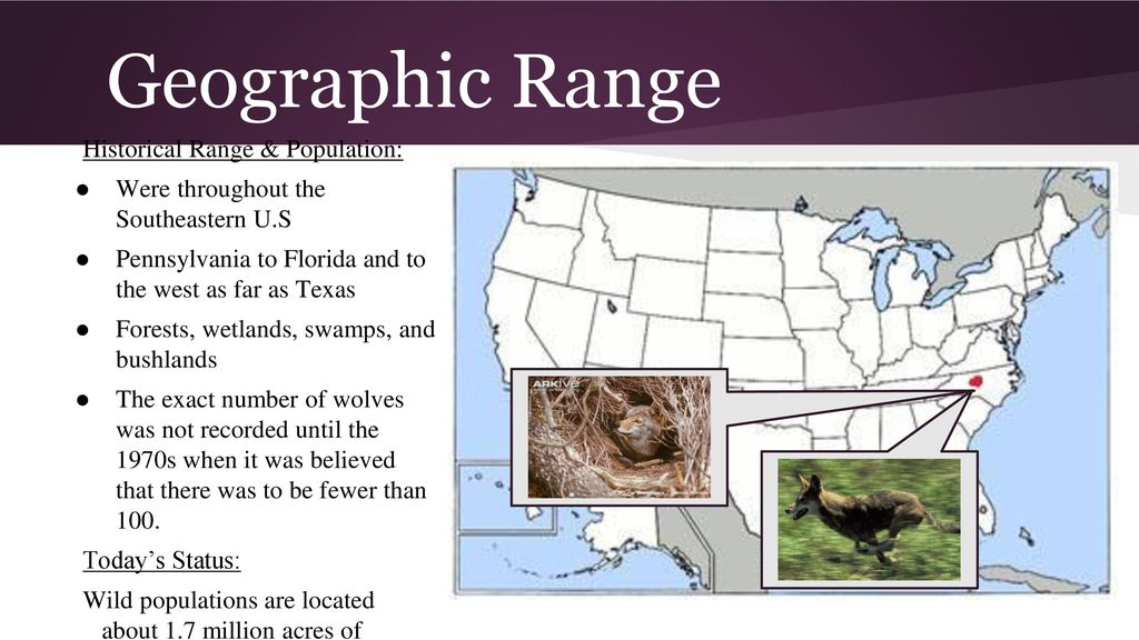 The Red Wolf  - ppt download