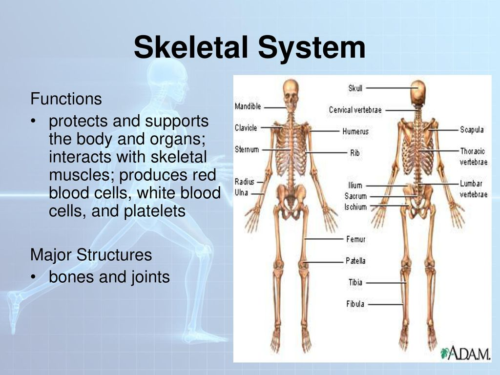 Human Body Systems Ppt Download