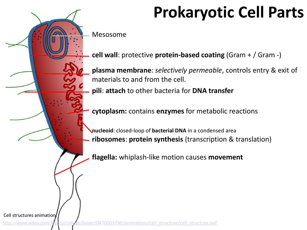 Prokaryotes Stephen Taylor I Biologynet Ppt Download Prokaryotic Cell Diagram Labeled Structure As Parts